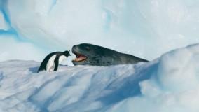 پنگوئن کوچک در مقابل نهنگ 3 متری