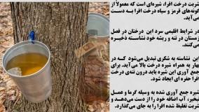 شیره درخت افرا معجزه میکند