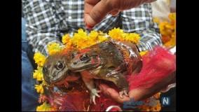 مراسم ازدواج و طلاق قورباغه ها در هند!