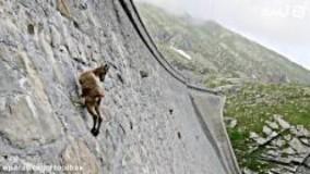از دیوار راست بالا رفتن یعنی این بقیه اداش رو در میارن