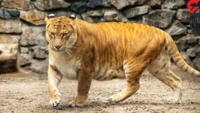 شیر ببر عظیم الجثه روزانه بیش از ۲۰ کیلو گوشت میخورد
