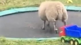 وقتی ی گوسفند ادای آدما رو در میاره