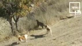 نجات پلنگ گرفتار شده در محاصره سگ های گله