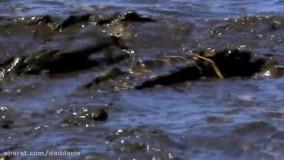 مستند حیات وحش ؛ نبرد شدید کروکودیل ها