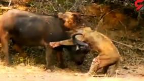 مرگ دلخراش شیر هنگام شکار بوفالو