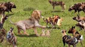 نبرد بین شیر و 20 سگ وحشی : حیات وحش