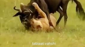 حیات وحش ، حمله مستقیم شیر به گوزن یالدار