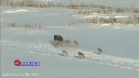 خیانت یک بوفالو به همنوع خود برای فرار از دست گرگها
