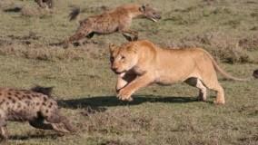 حیات وحش ، رقابت شیر و کفتار برای بقاء