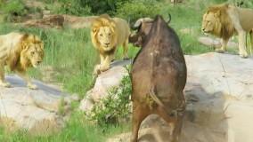 حیات وحش ؛ حمله 3 شیر نر برای شکار بوفالو زخمی
