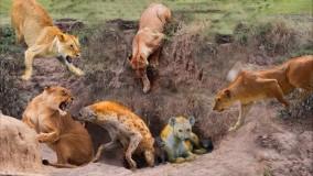 حیات وحش ، حمله و مبارزه شیرها در مقابل حیوانات