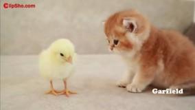 کلیپ اولین آشنایی گربه کوچولوی ملوس با جوجه بامزه
