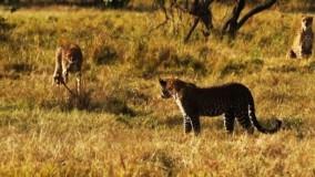 رویارویی دیدنی پلنگ با یوزپلنگها