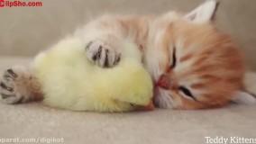 خوابیدن گربه ملوس و جوجه ناز در کنار هم ؛ گربه و جوجه کیوت