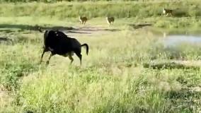 حیات وحش ، پرش فوق العاده گوزن یالدار از روی شیر