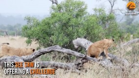 حیات وحش آفریقا ، فصل تولد شکارچیان از یوزپلنگ تا شیر و کفتار