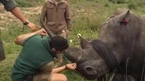 عملیات بریدن شاخ کرگدن برای نجات جانشان از شکارچیان غیرقانونی