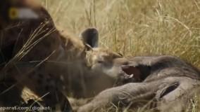 لحظه دیدنی شکار ؛ قدرت واقعی کفتارها در شکار