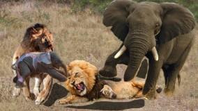 حیات وحش ، حمله شیرها برای شکار ؛  جنگ فیل مادر با گله شیرها