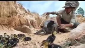 حیات وحش ، نجات اردک مادر از میان عضلات مار پیتون توسط پسر جنگل