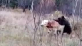 حیات وحش ، از حمله خرس به گاو مزرعه تا بوفالو گرفتار در میان شیرها
