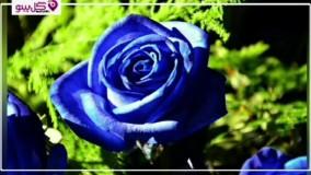 جذاب ترین و عجیب ترین نماد های گل رز