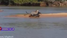 کمین و حمله ماهرانه جگوار به تمساح