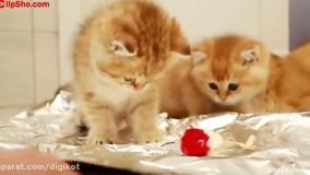 کلیپ بامزه از گربه کوچولوهای کیوت