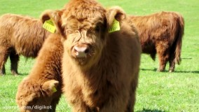 ده تا از گاوهای عجیبی که باور نمی کنید وجود داشته باشند!