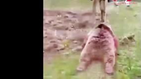 شکار خرس درحال انقراض در ارومیه