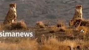 مشاهده دو قلاده یوز پلنگ آسیایی در توران