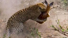 شکار حرفهای آهوی باردار توسط پلنگ