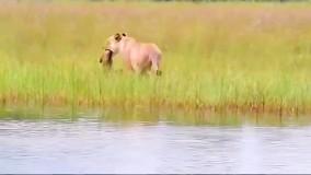 انتقال توله شیر از رودخانه توسط شیر مادر