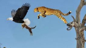 حیات وحش ، حمله و شکارهای دیدنی پلنگ و عقاب