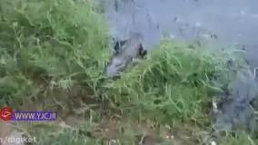 شکار پر دردسر مرغ توسط کروکودیل در برابر گریه بازدیدکنندگان باغ وحش