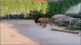 شیری که یک تنه دو ببر را فراری داد