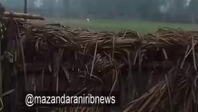 ورود آخرین بازمانده درناهای سفید سیبری به مازندران