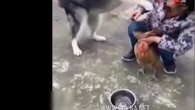 بی تابی سگ مهربان برای جلوگیری از ذبح یک مرغ
