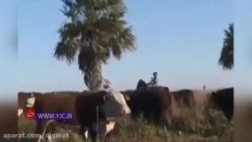 حمله گاو خشمگین به یک دامپزشک حین مصاحبه