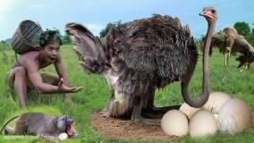 حیات وحش ، لحظه های دیدنی شکار از کفتار تا عقاب ، حمله به شترمرغ