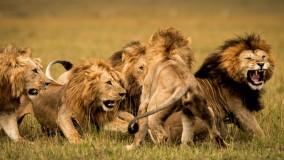 حیات وحش آفریقا، حمله های با شکوه شیر برای شکار