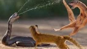 حیات وحش ، جنگ مار کبری و مانگوز در اتاق توریست طبیعت
