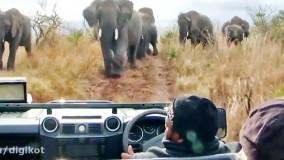حمله فیل های خشمگین به خودروی توریست ها