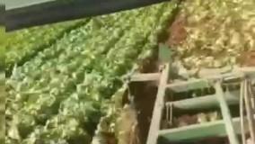 نابودی محصول کاهو توسط کشاورز دزفولی