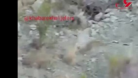 پلنگ ایرانی سه روز گرفتار یک دام : تیر بیهوشی برای نجات نداریم