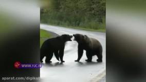 جدال سهمگین دو خرس گریزلی با یکدیگر
