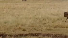 حیات وحش، حمله و شکارهای دیدنی از شیر تا کفتار