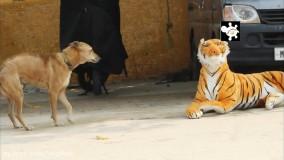 کلیپ خنده دار ؛ واکنش خنده دار سگ ها به ببر عروسک