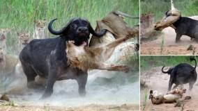 حیات وحش ، از حمله بوفالو به شیر تا حمله اسب آبی به سگ های وحشی