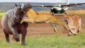 نبرد سنگین شیر و اسب آبی برای بقاء